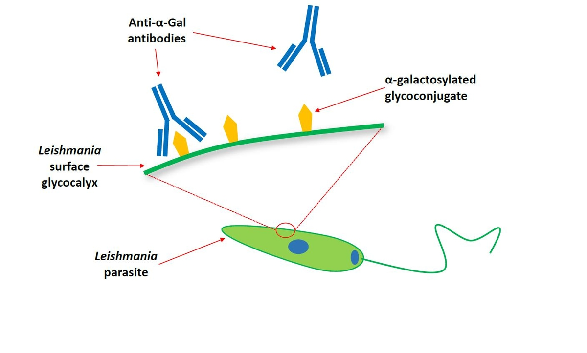 Figure 4 – Cartoon depicting the Leishmania parasite surface glycocalyx, containing α-galactosylated glycoconjugates recognised by human anti-α-Gal antibodies.