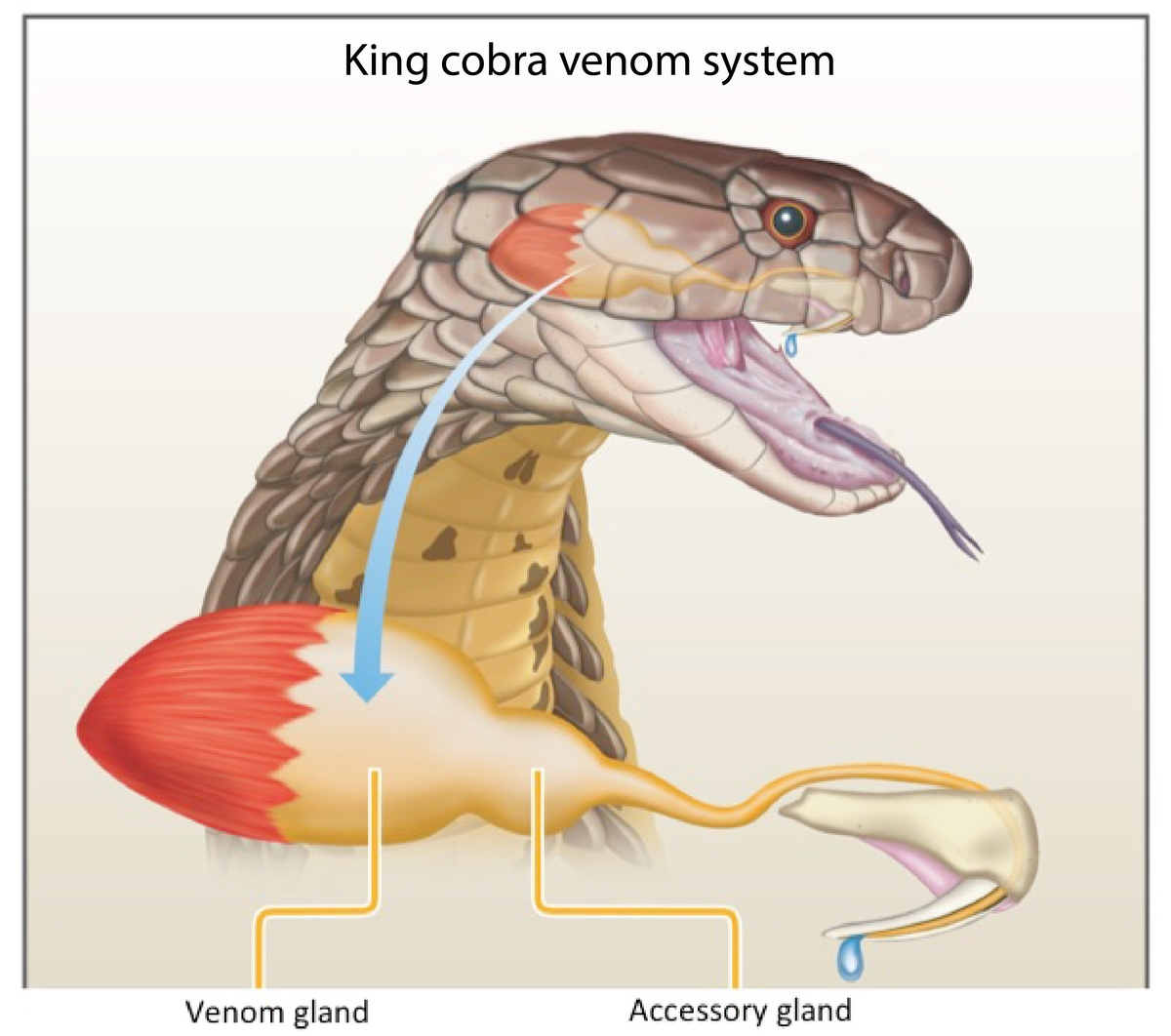 Perfect Anatomy Of The Snake Component - Human Anatomy Images ...