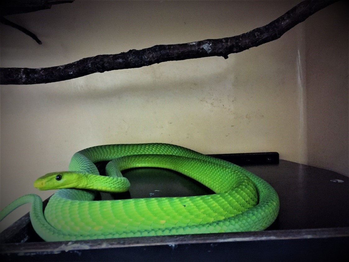 Eastern green mamba at LSTM snake venom research lab. Don't worry, he always looks this way.
