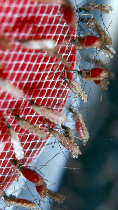 Anopheles gambiae mosquitoes feeding on blood