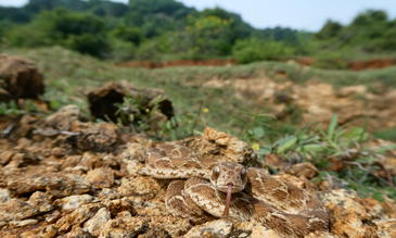"""""""Echis carinatus"""":  Saw-scaled vipers, like this Indian species Echis carinatus, are one of the most medically important group of venomous snakes in the world. Photo: Wolfgang Wüster."""