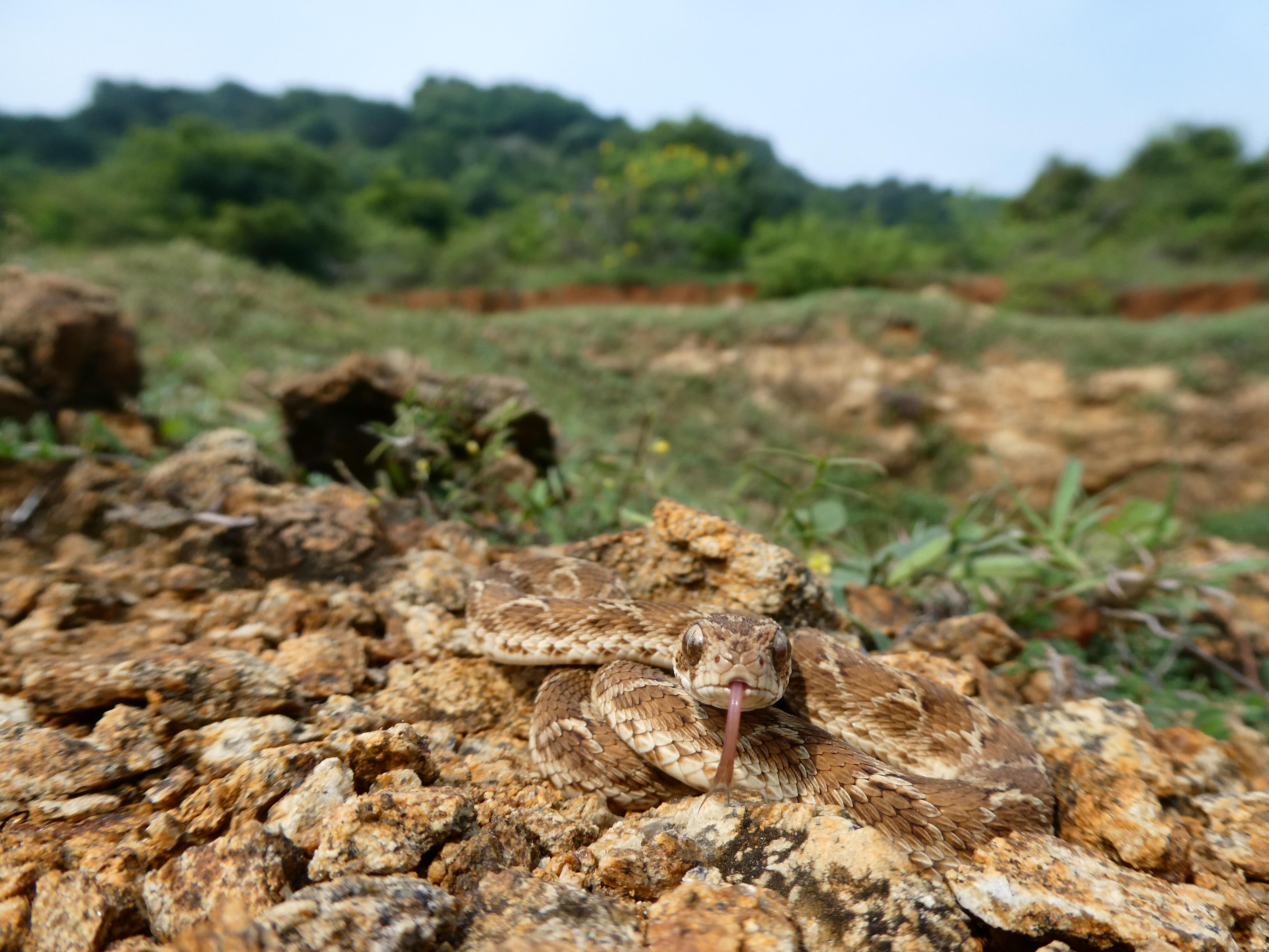 Echis carinatus India. Photo credit: Wolfgang Wurster
