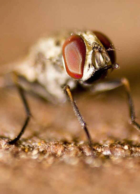 Tsetse fly. Dhruv Patel, CC BY 3.0 via Wikimedia Commons